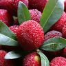 FD800 Sweet Red Bayberry Seeds, Myrica Gale Fruit Seeds, 90%+Germination ~10PCs~