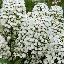 CANDYTUFT (IBERIS) Giant white  30 Seeds