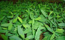 Sandalwood Tree, (Santalum album)10 Seeds, Very Rare