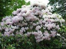Rhododendron fortunei 50 seeds