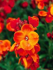 WALLFLOWER 'Fire King' 100 seeds COTTAGE GARDEN easy to grow FRAGRANT orange red