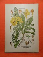Windblumen Königskerze Verbascum phlomoides THOME Lithographie 1890
