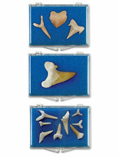 Fossilized Shark Tooth-Educational Box