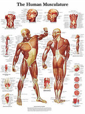 A3 Medical Poster - The Human Muscle Layout (Text Book Anatomy Picture Doctor)