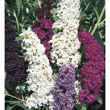 25+  BUTTERFLY BUSH MIX, BUDDLEIA DAVIDII / DEER RESIST / PERENNIAL FLOWER SEEDS