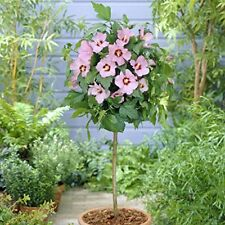 Rose Mallow Hibiscus Hamabo Pink Flowering Tree Patio Garden Potted Flower Plant