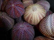 5 x Sea Urchin Shells North Sea Atlantic Ocean, Scotland. from 40 to 80mm dia
