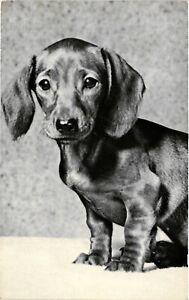 Dogs, Very Cute Little Dachshund