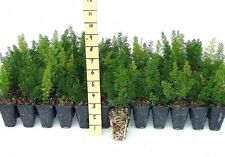 Foxtail Fern Myers Qty 72 Live Plants Groundcover Asparagus Densiflorus