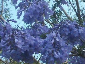BLUE JACARANDA, FRESH SEEDS, BULK LOT 100 + FRESH SEEDS, MAGNIFICENT SHADE TREE