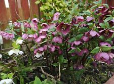 Hellebore Orientalis hybrids 20 Seeds Open Pollinated Fresh Seed Hardy Perennial