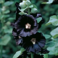 Seeds Hollyhock Mallow Nigra Black Giant Flower Perennial Garden Cut Ukraine