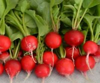 Early Scarlet Globe Radish Seed - Garden Radishes Vegetable Seeds (¼oz to 8oz)