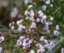 F.C PAYNE Thryptomene saxicola native small flowering plant in 140mm pot