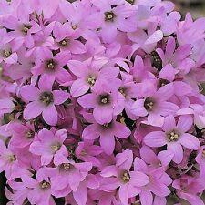 Campanula lactiflora 'Dwarf Pink' / Pink Bell Flower / 300 Seeds