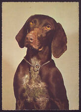 GERMAN or HUNGARIAN ? POINTER breed DOG. Vintage photo postcard