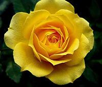 Yellow Rose Flower Seeds Garden Plant, (Buy 1 Get 1 15% Off) UK Seller
