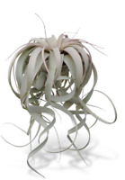 "Tillandsia Xerographica XL 8""-12"" Air Plants"