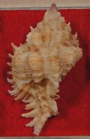 Chicoreus Laciniatus 52mm Philippines
