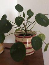 Ufopflanze Pilea Peperomioides UFO Plant Geldbaum Bauchnabelpflanze Moneytree