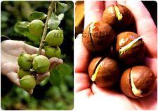 *UNCLE CHAN 5 seed Macadamia Macadamia integrifolia Beautiful Tree Taste Great