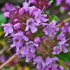 CREEPING THYME PURPLE 1000 SEEDS GROUNDCOVER LAWN DROUGHT ARID HERB PERENNIAL US