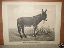 Antique Litho Print Black Donkey Cattle Local Breed
