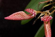 MOS. Orchid Species Bulbophyllum mirum (small seedling)