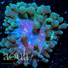 New listing Asd - 123 Goblin Gernade Bubble Anemone - Wysiwyg - Aqua Sd Live Coral Frag