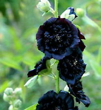 Hollyhock Double Black  (15) Seeds Semi And Double Black Blossoms
