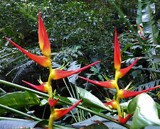 Rare Heliconia latispatha Red-Yellow Gyro Rhizome tropical plant flower banana