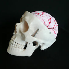 Anatomical Human Life Size Skull With Brain Model - Skeleton Medical Anatomy