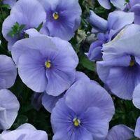 Pansy- Light Blue - 50 Seeds- BOGO 50% off SALE