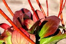 3x Bergenie Bergenia cordifolia 'Flirt' + 1x Hartriegel Cornus alba 'Sibirica'