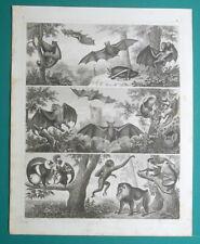Mammals Bats Flying Lemur Vampire Fox-nosed Maki - 1844 Antique Print