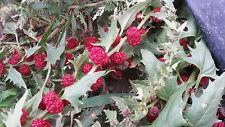 Strawberry spinaci Chenopodium Capitatum 5 frutta fresca con semi