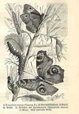 Stampa antica FARFALLE Vanessa  Epinephele BUTTERFLIES 1891 Old antique print