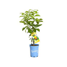 """Pipsqueak"" Kaffir Lime Dwarf Grafted Citrus"