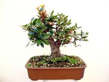 5 graines de LAURIER SAUCE(Laurus Nobilis) BONSAI G124 SWEET BAY SEEDS SEMILLAS