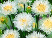 Seeds Cornflower Terry White Ball Flower Annual Garden Organic Russian Ukraine