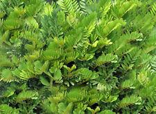 Zamia furfuracea Cardboard Palm seeds Gardening Rare Ancient Plant