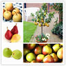 50pcs Pear Fruit Tree Seeds Mixed Tropical Perennial Bonsai Sweet Garden Plant