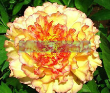 5 LIGHT GOLDEN TREE PEONY SEEDS - (Paeonia suffruticosa)