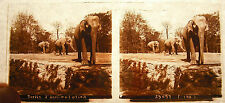 Photo Stereoscopic Castor and Pollux? Elephants Garden Acclimation Paris