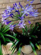 "Clump Of Mature 5 Year Old  ""African Sky"" Agapanthus Plants - with 4 crowns!"