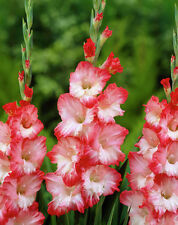 3 x Gladiolus 'Pink Lady' (corms) (pink Gladioli to grow at home)