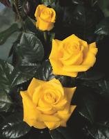 """""""Golden Wedding"""" Medium Yellow Rose Bush (Floribunda)"""