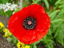 POPPY 'Flanders' 1200 seeds colourful red flower garden REMEMBERANCE day flower