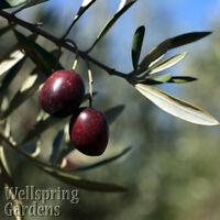 Chemlali Olive Tree Live Plant food garden