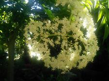 Black Elderberry Sambucus Nigra Plant : Permaculture Perennial Edible Medicinal